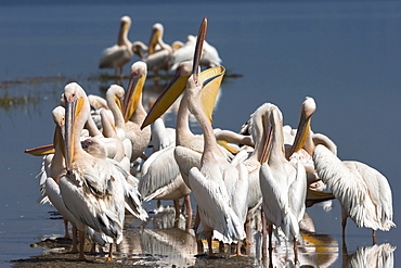 Great white pelicans (Pelecanus onocrotalus), Lake Nakuru National Park, Rift Valley, Kenya, East Africa, Africa