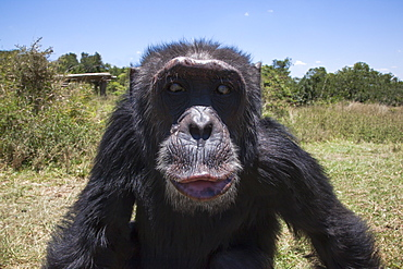 Orphaned or abused chimpanzees (Pan troglodytes) from West and Central Africa at the Sweetwaters Chimpanzee Sanctuary, Ol Pejeta Conservancy, Laikipia, Kenya, East Africa, Africa