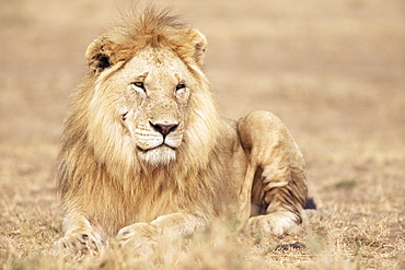 Male lion resting in the grass, Kenya, East Africa, Africa