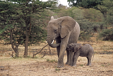 Mother and baby African elephant, Loxodonta africana, Kenya, East Africa, Africa