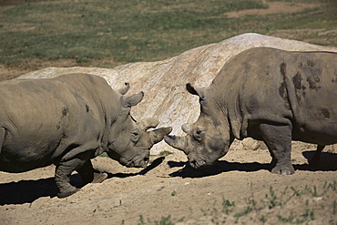 East African black rhinoceros (rhinos) sparring, San Diego Wild Animal Park, California, United States of America, North America