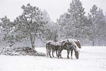Horses in a snowstorm, Colorado, United States of America, North America