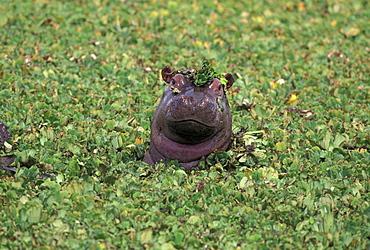 Hippopatamus in water, Kenya, East Africa, Africa