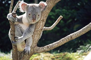 Koala bear in a tree in captivity, Australia, Pacific