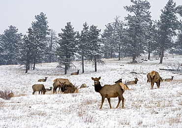 Elk herd, Flagstaff Mountain, Colorado, United States of America, North America