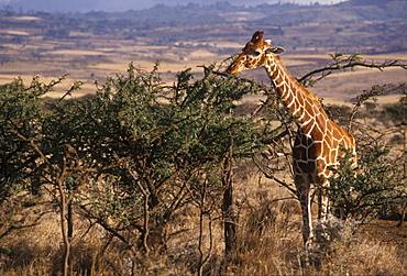 Giraffe feeding, Kenya, East Africa, Africa
