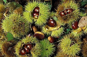 Castanea Sativa, Chestnut, Italy