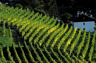 Vineyard, Val Pusteria, Alto Adige, Italy