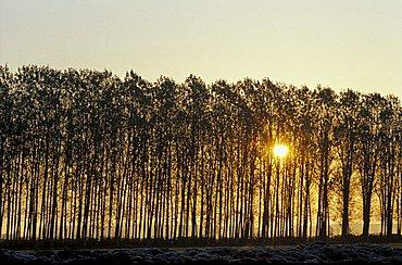 Populus Nigra, Poplar, North Italy, Italy