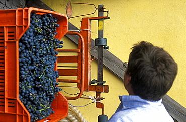 Preparation of Marzemino wine, Marano d'Isera, Trentino, Italy