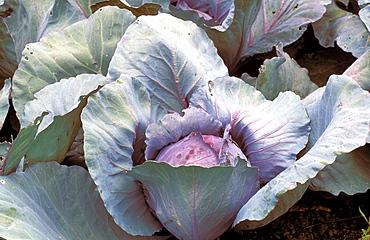 """Brassica Oleracea, var. Capitata """"Rosso D'Olanda"""""""