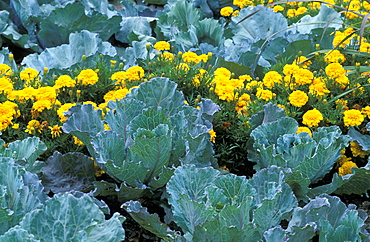 Brassica Oleracea, var. Capitata and Tagetes