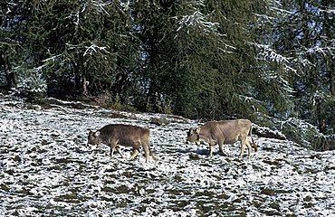 Grazing land covered with snow, Val di Rabbi, Stelvio national park, Trentino Alto Adige, Italy