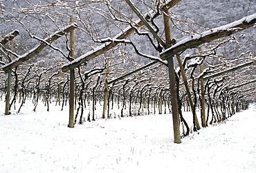 Vineyard covered with snow, Vallagarina, Trentino Alto Adige, Italy