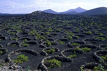 Typical cultivations, Lanzarote, Canary Islands, Spain, Atlantic, Europe