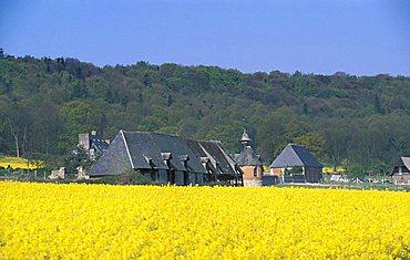 Rape fields, Normandy, France, Europe