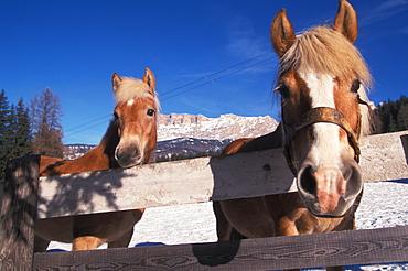 Haflinger horse, Alta Badia, Trentino Alto Adige, Italy