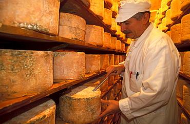 Taking a core sample of gorgonzola cheese seasoned at Costa Dairy, Novara, Piedmont, Italy