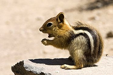 Squirrel, Crater Lake National Park, Oregon, United States of America (U.S.A.), North America