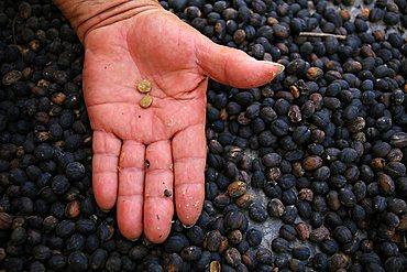 Coffee grain, Vi, Vinales, Cuba, West Indies, Central America