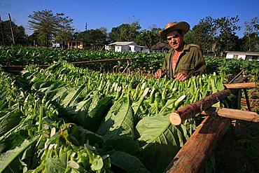 Tobacco cultivation, Vi, Vinales, Cuba, West Indies, Central America