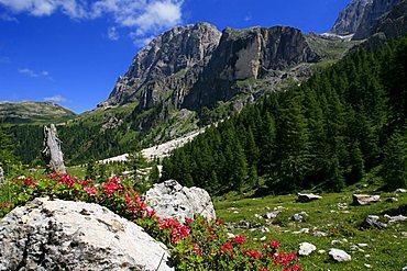 Rhododendrum hirsutum, Pale di San Martino, Trentino, Italy