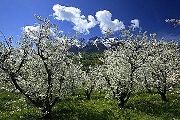 Cherry tree blooming, Vigolo Vattaro, Trentino, Italy