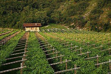 Vineyard, Trentino, Italy