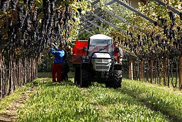 Grape harvest, De Vescovi Ulzbach farm, Mezzocorona, Piana Rotaliana, Trentino Alto Adige, Italy