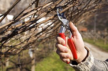 Pruning, De Vescovi Ulzbach farm, Piana Rotaliana, Trentino Alto Adige, Italy