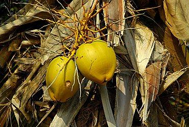 Coconut, Dominican Republic, West Indies, Central America