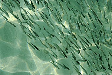 School of fish in the lagoon, Zanzibar, United Republic of Tanzania, Africa