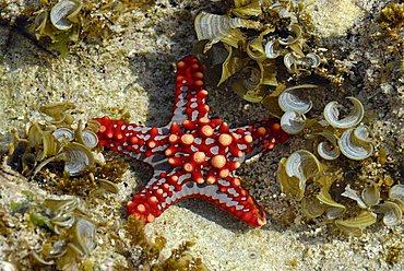 Starfish, Zanzibar, United Republic of Tanzania, Africa