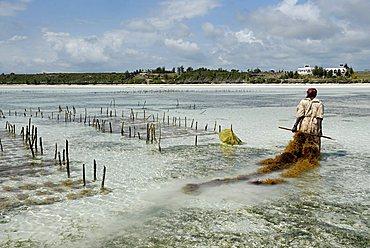 Algae cultivation on the lagoon, Zanzibar, United Republic of Tanzania, Africa