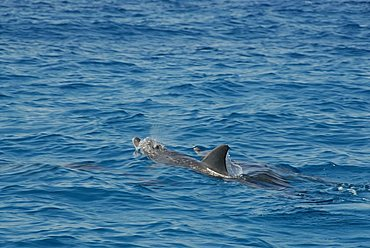 Dolphins, Mnemba Atoll, Zanzibar, United Republic of Tanzania, AfricaUnguja