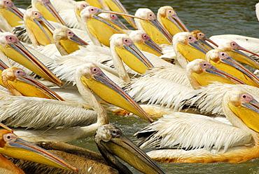 Great White Pelican, Djoudj National Bird Sanctuary, Republic of Senegal, Africa