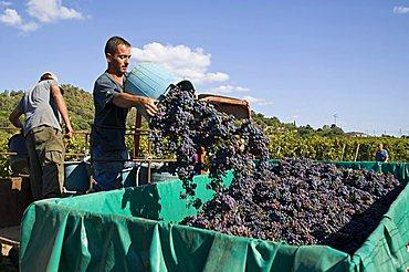 vendemmia harvest Cannonau Cardedu Ogliastra Sardinia Italy Mediterranean