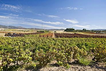 vendemmia harvest campidano Cagliari Sardinia Italy Medirranean