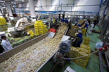 Artichoke processing, Luxitalia factory, San Pietro Vernotico, Puglia, Italy