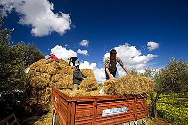 Hay harvesting, Ostuni, Puglia, Italy