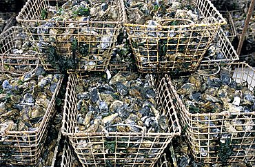 Oysters, Island of Oleron, Charente-Maritime, France, Europe