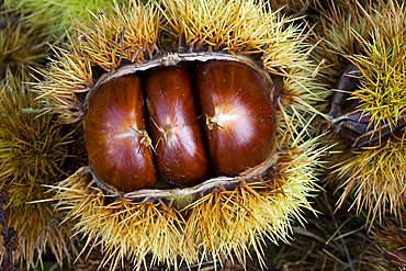 Castanea sativa, sweet chestnut, castagne