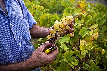 Grape harvest, Salina Island, Messina, Sicily, Italy, Europe