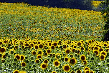 Sunflowers field, Tuscany, Italy