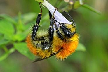 Bombus muscorum, bumblebee