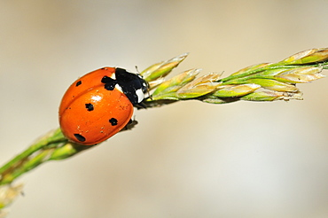 Coccinella septempunctata, seven-spot ladybird