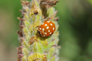 Calvia quatuordecimguttata, Cream-spot ladybird