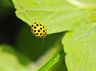 Psyllobora vigintiduopunctata, 22-spot ladybird