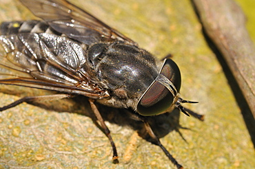 Tabanus autumnalis, large marsh horsefly