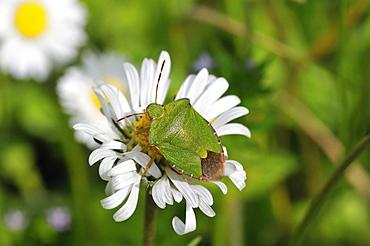 Palomena prasina, Green shield bug